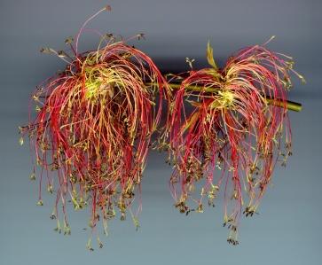 Eschenahorn Pollenstände rot 04d