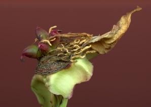 Pfingstrose Blütenbasis 02f