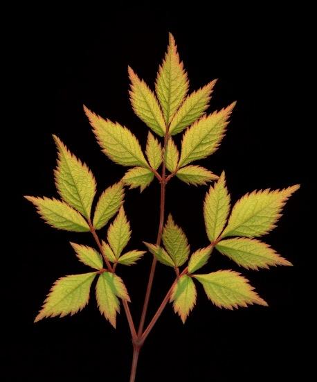 Wald-Geißbart-Blätter 01d